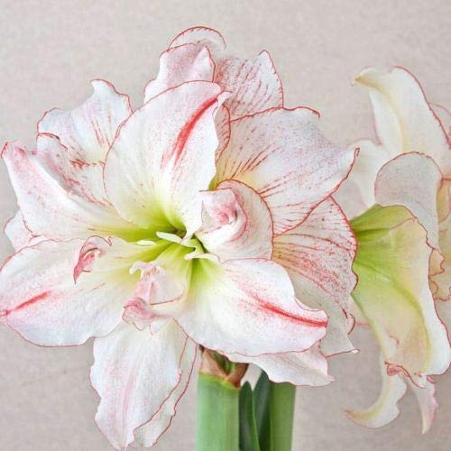- 1 Bulbs Amaryllis Aphrodite Big Double Bloom with Red Accents Bulbs Flowers Rare