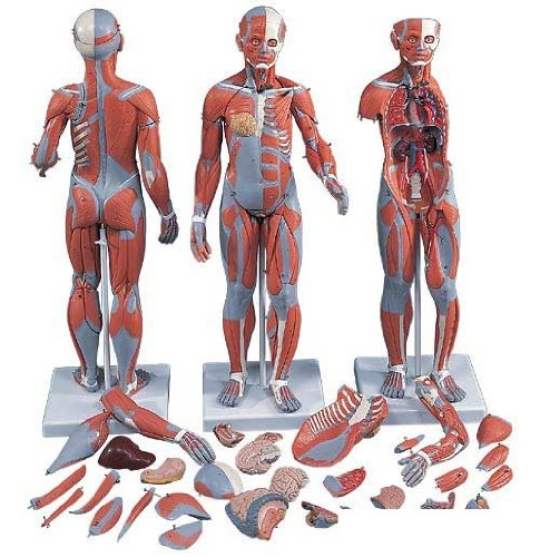 3B社 筋肉解剖模型 筋肉解剖1/2倍大33分解モデル両性 (b55)   B003Z2TSDU