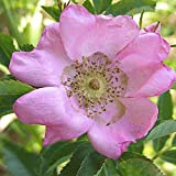 Everwilde Farms - 60 Pasture Rose Native Wildflower Seeds - Gold Vault Jumbo Seed Packet