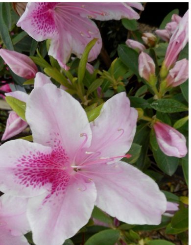 Azalea, George Tabor, Pink and White Flowers, TWENTY plants by Unknown