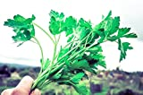 Flat Leaf Italian Parsley Seeds (~200): Certified Organic, Non-GMO, Heirloom