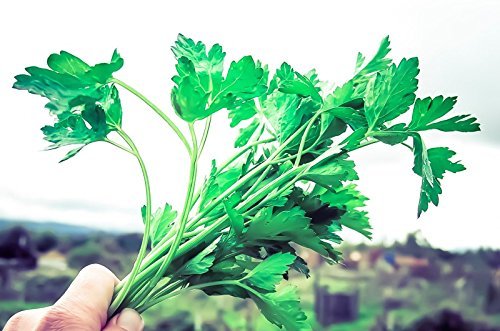 Flat Leaf Italian Parsley Seeds (~200): Certified Organic, Non-GMO, Heirloom by plantgoodseed