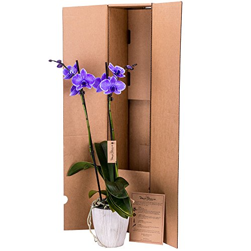 DecoBlooms Live Purple Orchid, 5 inch Blooms by DecoBlooms (Image #1)