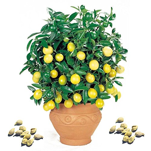 potted lime tree - 8
