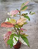 "Joseph's Coat Copperleaf (Acalypha wilkesiana mosaica) 10"" Rooted Plant"