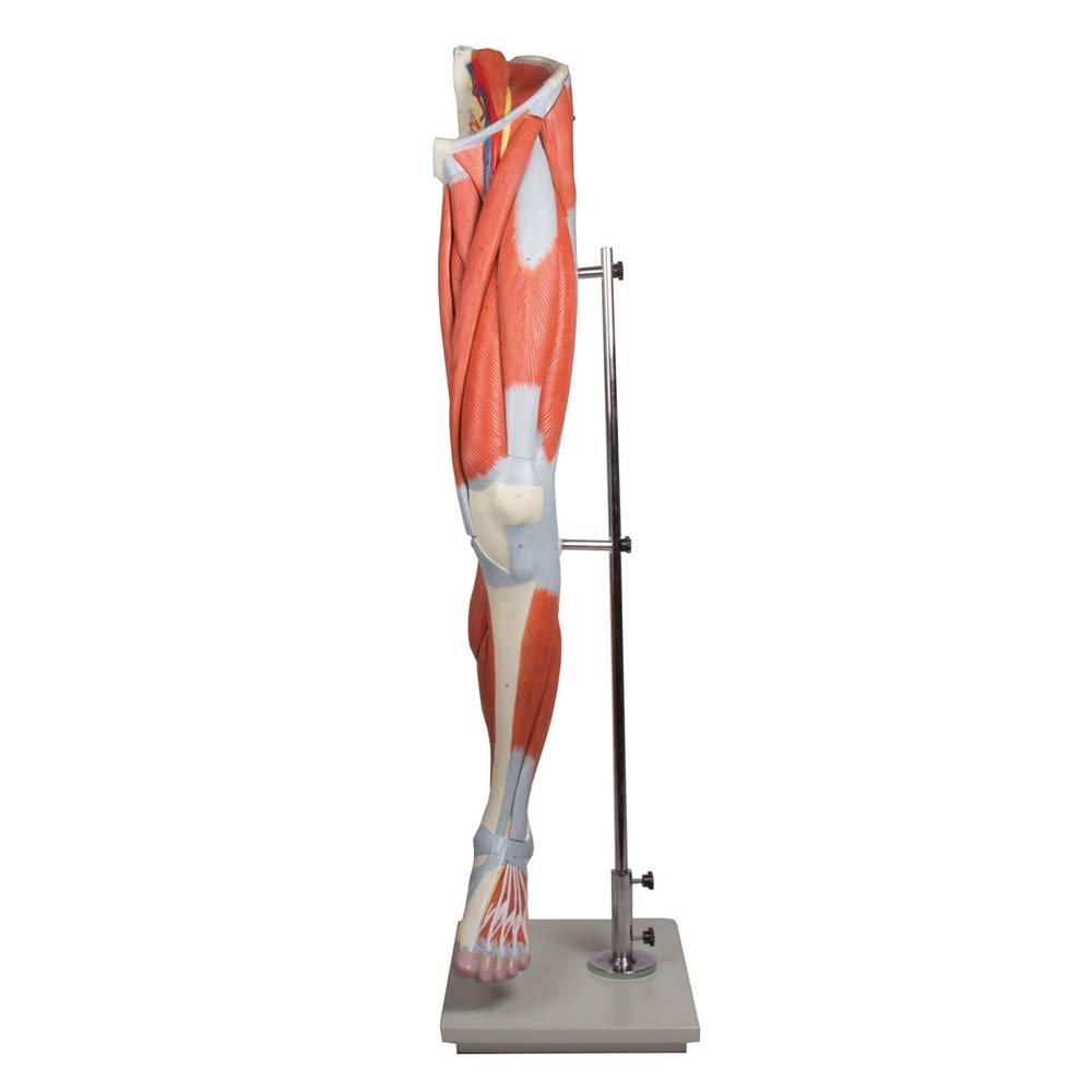 Anatomie Modell, Beinmuskulatur-Modell, menschliches Bein ...