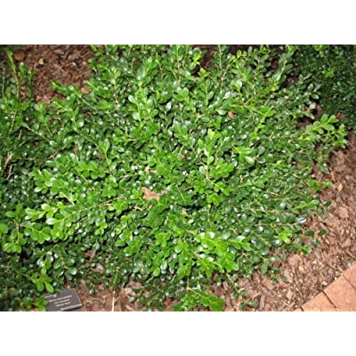 AchmadAnam - Live Plant Winter Gem Boxwood (Lot of 10 Plants in Quart containers) : Garden & Outdoor