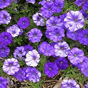 ~ Shock Wave DENIM (Blue) * Trailing Petunia * 20 Pelleted Seeds