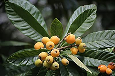 Loquat, Japanese Plum Tree, Chinese plum, Eriobotrya japonica, Tropical fruit, (12+ Seeds)