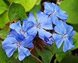 1 Healthy Starter Plant of Ceratostigma plumbaginoides