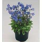 Alpine Breeze Blue F1 Campanula 20 Multipltd Seeds Blooms 1st Year W/o Cold Trt.