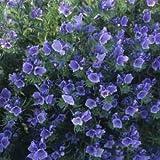 Outsidepride Echium Blue Bedder - 1000 Seeds