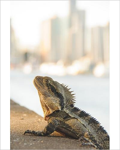photographic-print-of-city-lizard