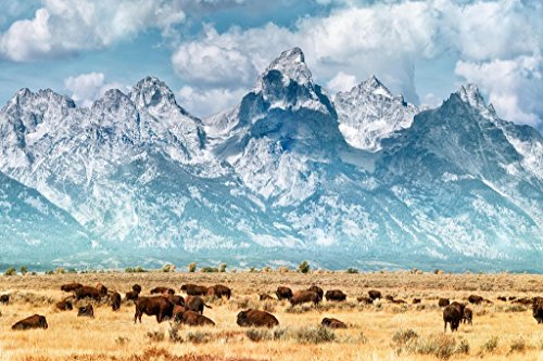 Herd of Bison Buffalo Below Grand Teton Mountains Photo Art