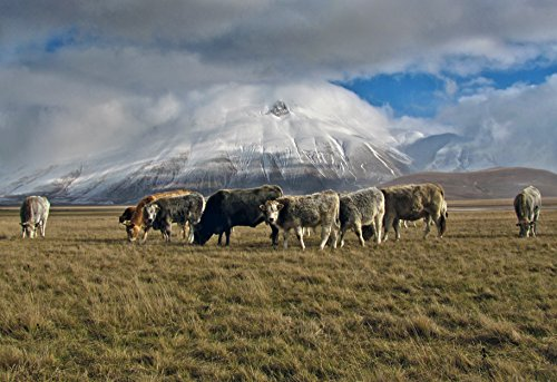 Cows Grazing by