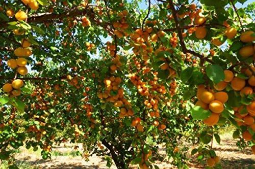 Dried Turkish Apricots (25 LBS) By SpiritOne + GIFT Coconut Shell Massage Ball by SpiritOne (Image #4)