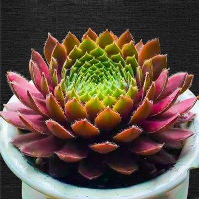 Live Succulent Plant Mini Succulents(Sempervivum L.)