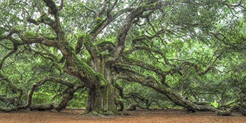 Angel Oak - Famous Tree on Johns Island | Charleston South Carolina Low Country | Fine Art Landscape Photographs | Home Decor Pictures for Living Room/Bedroom/Office