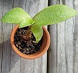 Ledebouria pauciflora (socialis) RARE☆ Ledebouria Socialist ☆ Cacti ☆Terrarium