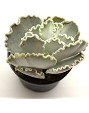 Pianta Grassa Echeveria Shaviana, Vaso 10cm