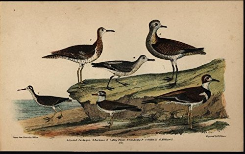 Spotted Sandpiper Ring Plover Killdeer c.1835 antique engraved hand color - Antique 1835 Map