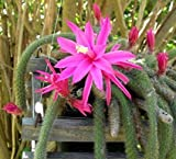 Rare Rattail Cactus - Aporocactus - Very Easy to