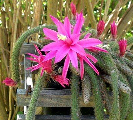 Rare Rattail Cactus - Aporocactus - Very Easy to Grow - 4'' Hanging Basket Pot from jmbamboo