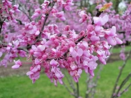 Amazon Com 20 Forest Pansy Redbud Tree Seeds Cercis Canadensis
