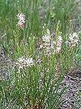 Gaura Coccinea Perennial Seeds