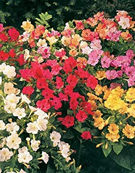 75 MIXED FOUR O CLOCK aka Marvel of Peru Mirabilis Jalapa Flower Seeds + Free Gift