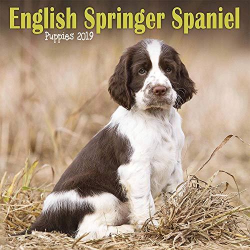ENGLISH SPRINGER SPANIEL PUPPIES M 2019, used