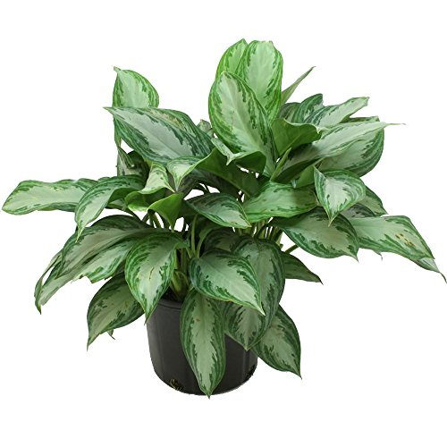 Costa Farms Silver Bay Aglaonema Chinese Evergreen in 9.25-Inch Grower Pot