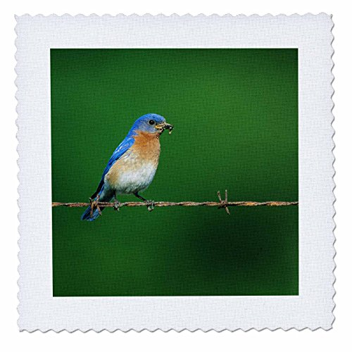 3drose-danita-delimont-bluebird-eastern-bluebird-male-on-barbed-wire-fence-with-food-illinois-12x12-