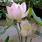 Adarl 10pc/Package Pink Lotus Seeds Ornamental Plants Seeds Courtyard Garden With Flower Seeds Professional Pack