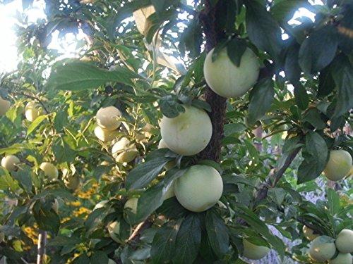 1 Shiro Plum Tree - Yellow Plum