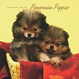 Pomeranian Puppies 2009 Square Wall Calendar