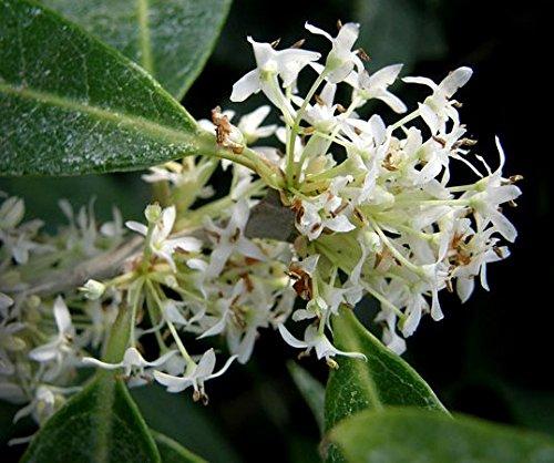 FRAGRANT TEA OLIVE - Osmanthus decorus 'Baki Kasapligil' - EXTREMELY FRAGRANT FLOWERS - 3 - Year -