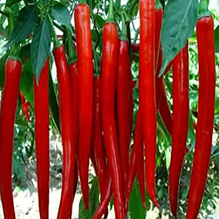 Home Garden Plant 100 Seeds Red Spicy Hot Long Chilli Pepper Patio Plant Vegetab