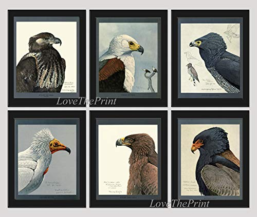 (Eagle Wall Art Pint Set of 6 Prints African Sea Bateleur Tawn Eagle Harrier Hawk Illustration Forest Nature Home Room Decor Wall Art Country Natural Science LoveThePrint Unframed)
