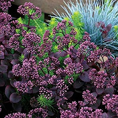 AchmadAnam - Live Plant - 18 Sedum Cherry Tart - Ground Cover - Stonecrop : Garden & Outdoor