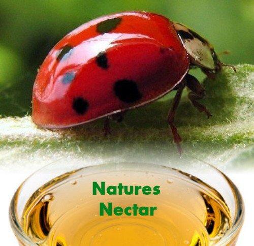 Live Ladybugs - Approximately 1550 + Hirt's Nature Nectar