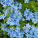 Chinese Forget-Me-Not Flower Seeds, Cynoglossum Amabile, 1 Oz (6,000 seeds)
