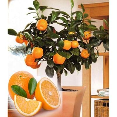 10 Edible Fruit Orange Tree Seeds, Bonsai Citrus Orange Tree Seeds : Garden & Outdoor