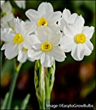 10 Paperwhites Bulbs, Soft YELLOW Blooms with LIGHT Fragrance! Wintersun 17+cm Size Extra Large Paperwhites for Forcing - Indoor Blooming & Fragrant!
