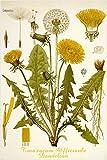 dandelion flower CLASSIC BOTANICAL POSTER scientific RARE top notch 24X36