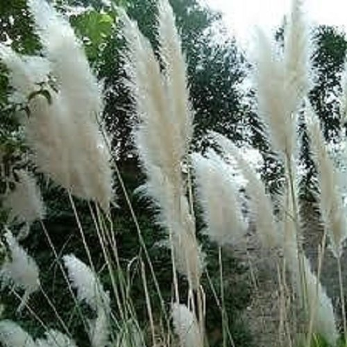 - Grasses - Cortaderia White Feather - 150 Seeds