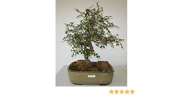 Amazon Com Bonsai Gardens Highest Quality Small Small Leaf Elm Bonsai Tree Garden Outdoor