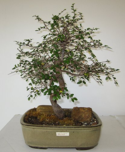Quality Bonsai - 2
