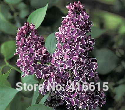 (Lilac Seeds Syringa vulgaris Sensation Seeds Lilac Flower Tree Seeds For Bonsai Perennial Garden Aromatic Plant Seeds)