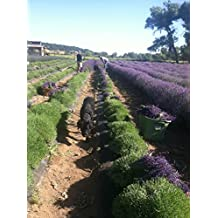 Findlavender - Lavender Dried Bundles 18in to 22in Long, Contains 150 to 160 Stems from 2016 Harvest - 2 Bundles